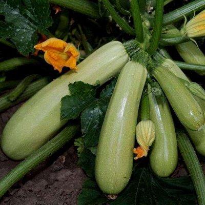 Семена от бегонии до петунии, а также семена овощей и зелени — Тыква, кабачок, патиссон — Семена овощей
