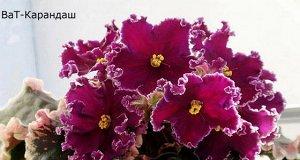 Фиалка Крупные сливово - пурпурные цветы с красными горошками. Горошки по мере раскрытия цветка растекаются и подсвечивают цветок. Чёткая белая волнистая кайма, не реагирующая на температурные условия