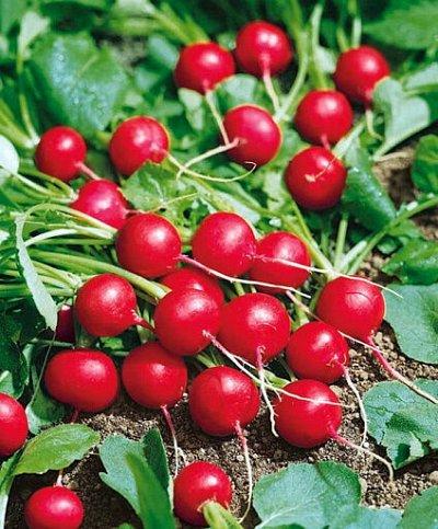 Семена Сады России. — Семена РЕДИС — Семена овощей