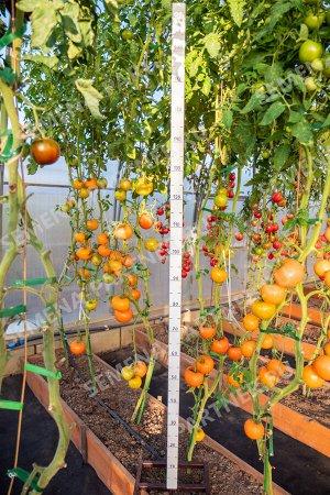 Семена Томат Золотой Орфей ^ 0,05 гр