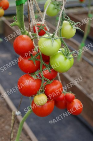 Семена Томат Ахмар F1 ^(5ШТ)
