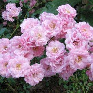 Роза Вечноцветущая Садовый аромат