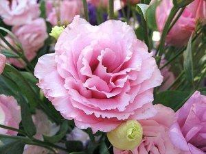 Эустома (лизиантус) Алисса роза F1 (крупноцветковая)
