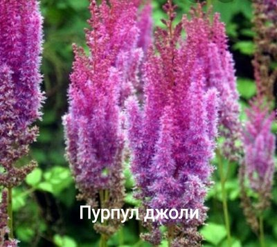 Осенняя распродажа саженцев и цветов. — Многолетние цветы — Декоративноцветущие