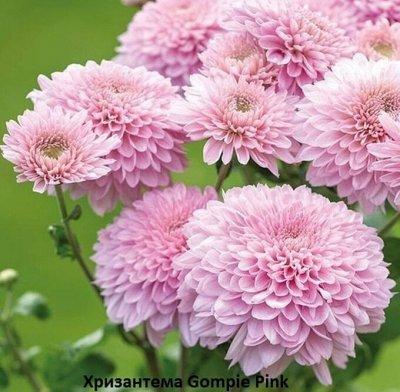 Осенняя распродажа саженцев и цветов. — Хризантемы — Декоративноцветущие