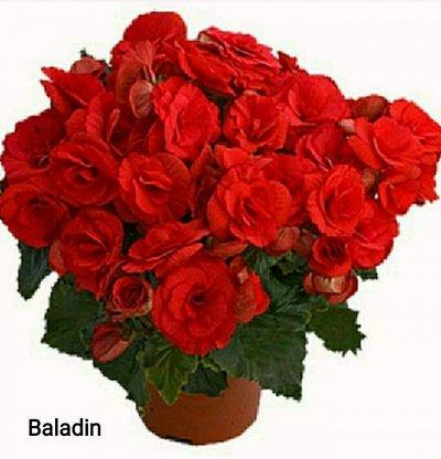 Осенняя распродажа саженцев и цветов. — Цветы — Декоративноцветущие
