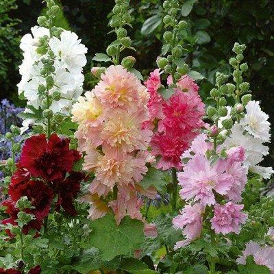 Семена Аltая Цена за 2 пачки — Мальва, Шток-Роза — Семена многолетние