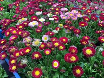 Семена Аltая Цена за 2 пачки — Маргаритка — Семена многолетние