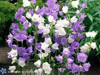 Семена Аltая Цена за 2 пачки — Колокольчик — Семена многолетние