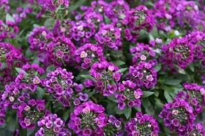Семена Аltая Цена за 2 пачки — Алиссум — Семена однолетние