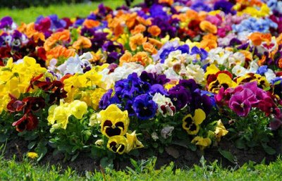 Семена Аltая Цена за 2 пачки — Виола, Анютины глазки, фиалка — Семена многолетние