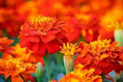 Семена Аltая Цена за 2 пачки — Бархатцы — Семена однолетние