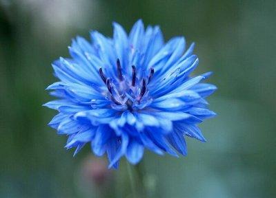 Семена Аltая Цена за 2 пачки — Василек — Семена однолетние
