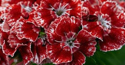 Семена Аltая Цена за 2 пачки — Гвоздика — Семена цветов