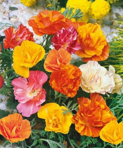 Семена Аltая Цена за 2 пачки — Эшшольция — Семена однолетние