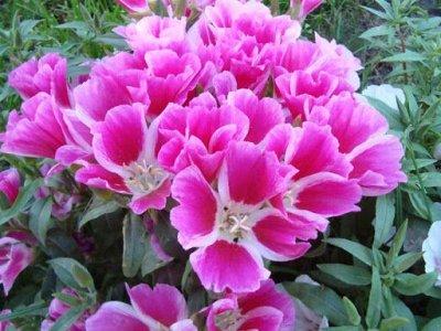 Семена Аltая Цена за 2 пачки — Годеция — Семена однолетние