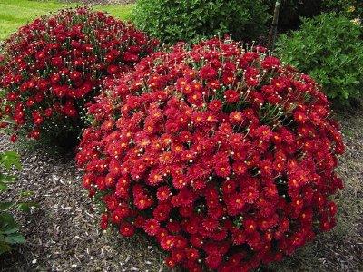 Семена Аltая Цена за 2 пачки — Хризантема — Семена цветов