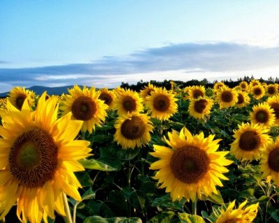Семена Аltая Цена за 2 пачки — Подсолнечник — Семена однолетние