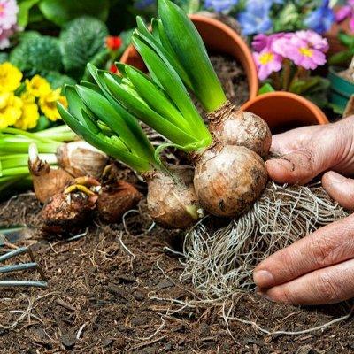 🍀LEROY MERLIN🍀Дом для дома! — 40% Луковичные цветы - осенняя посадка — Декоративноцветущие