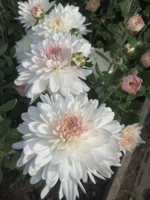 хризантема корейская Яблоневый Цвет