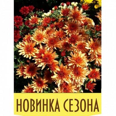 12-Мир хризантем (Предзаказ на весну 2021г). — НОВИНКИ хризантемы — Декоративноцветущие