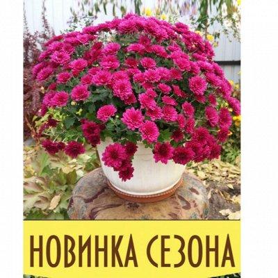 12-Мир хризантем (Предзаказ на весну 2021г). — НОВИНКИ ампельные хризантемы мультифлоры — Декоративноцветущие