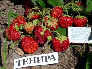 Тенира Клубнике Тенира (Tenira) уже более 50 лет, она не побалует крупноплодностью или высокой устойчивостью к болезням и вредителям и, скорее всего, если Вы выбираете сорт для посадки то лучше рассмо