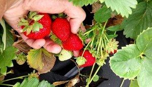 Луиза Новые сорта клубники появляются едва ли не каждый год. Селекционерам известна тяга людей к этой ягоде и одним из прорывов в области агрономии данной ягоды является клубника Луиза. Это растение п