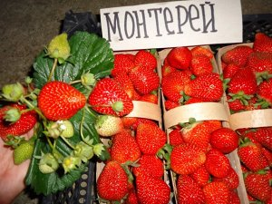 Монтерей Монтерей относится к среднеранним сортам. Цветёт с первой половине мая и до ноября, пока не начнутся первые заморозки. Урожайность очень высокая, при тепличном содержании некоторые экземпляры