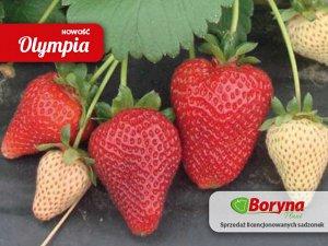 Олимпия Многие садоводы охотно испытывают у себя на участке новые сорта ягодных культур, сравнивают их со «старожилами» и выбирают лучшие. Не остался без внимания и перспективный сорт от итальянских с