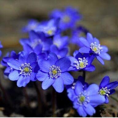 Цветочная - цветущие цикламены - 280 р (28.09.2020) — Садовые растения 2 — Декоративноцветущие