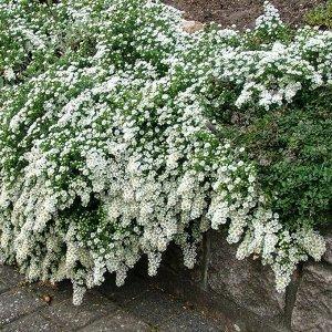 Астра Белая почвопокровая вересковая