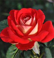 Роза Шанти Роза Шанти - это яркая, радующая глаз роза. Махровые цветки диаметром 8 - 10 см, цвет варьируется от оранжево-желтых до оранжево-красных тонов. В полном роспуске кораллово-розового цвета. Ц