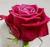 Роза Шангри-Ла