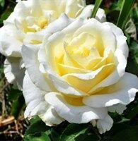 Магия роз* саженцы на весну-2021-оплата 50%сейчас/50%позже. — Флорибунда — Декоративноцветущие