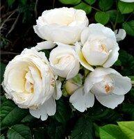 Магия роз* саженцы на весну-2021-оплата 50%сейчас/50%позже. — Плетистые — Декоративноцветущие