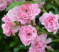 Роза Фейри Очаровательная роза Фейри органично сочетает в себе нежность и выносливость, обильное, практически непрерывное цветение и универсальность использования в садовом ландшафте. Цветки розовые,