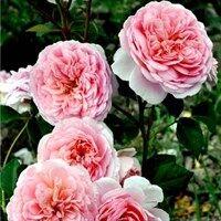 Цветы, кусты. Распродажа! Все в наличии — Розы