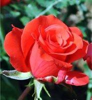 Роза Гольдштейн Перла