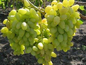 Виноград сорт Аркадия