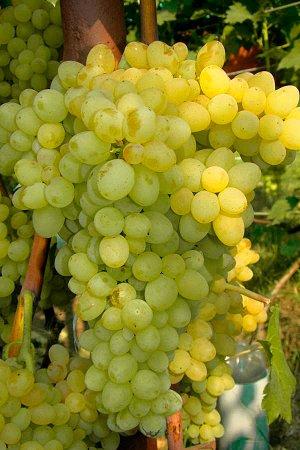 Виноград сорт Кишмиш №342
