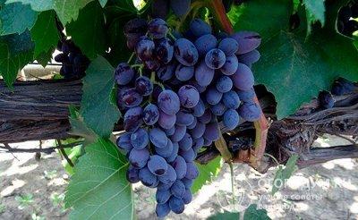 Виноград на посадку весной 2021. Оплата 50 сейчас/50 позже — Очень ранний — Плодово-ягодные
