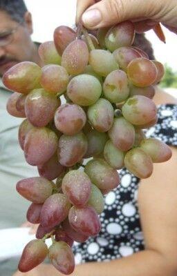 Виноград сорт Багровый