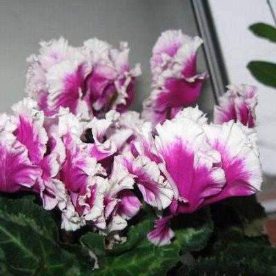 Цветочная - цветущие цикламены - 280 р — Цикламены сортовые стартеры — Декоративноцветущие