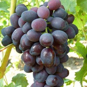 Виноград сорт Забава