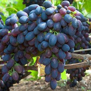 Виноград сорт Кодрянка