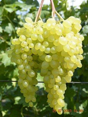 Виноград сорт Бессемянный