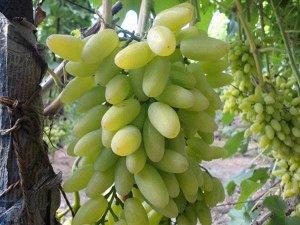 Виноград сорт Тимур
