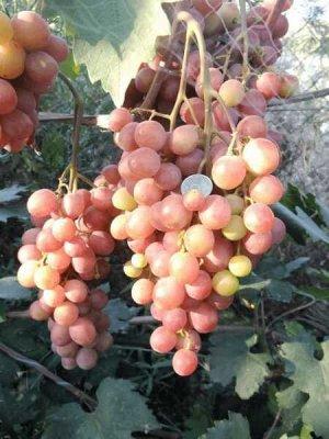 Виноград сорт Алиса