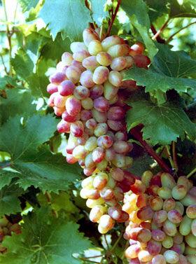 Виноград сорт Арочный